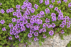 Flowering Thyme Royalty Free Stock Photos