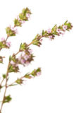 Flowering thyme isolated Royalty Free Stock Images