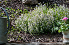 Flowering Thyme. Plant in a garden slope Royalty Free Stock Photo