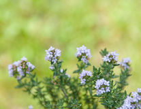 Flowering thyme plant with green background Stock Photo