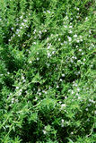 Flowering thyme Stock Photography