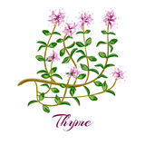 Flowering thyme. Thyme herb. Stock Images