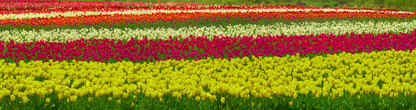 Flowering time beautiful garden flowers tulips Stock Photo