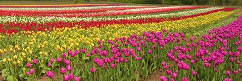 Flowering time beautiful garden flowers tulips Royalty Free Stock Image
