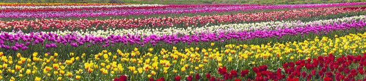 Flowering time beautiful garden flowers tulips Stock Photo