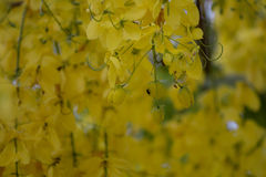 Flowering times. Golden Shower Tree Cassia fistula Stock Photos