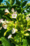 Flowering tobacco Royalty Free Stock Photography
