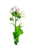 Flowering tobacco (Nicotiana sylvestris) Royalty Free Stock Photos