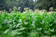 Flowering Tobacco Plants in Bloom Stock Photos