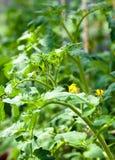 Flowering tomato stock photography