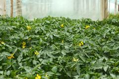 Flowering tomato seedlings before planting. Flowering tomato seedlings in the spring film greenhouses before planting into the soil Stock Photo