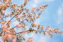 Flowering Tree Royalty Free Stock Photos