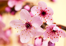 Flowering tree. Close up photo of flowering tree Stock Images