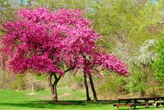 Flowering tree. A beautiful flowering tree in a springtime park setting stock photo