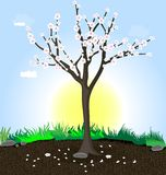Flowering tree. Against the sun, blue sky, clouds, ground and green grass - spring flowering tree Stock Photography