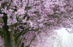 Flowering tree Stock Images
