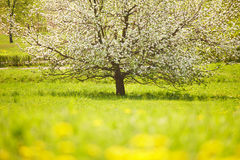 Flowering tree. In a meadow, sunny day, springtime Stock Photos