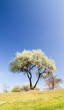The flowering tree. On the side of the hill Royalty Free Stock Photo