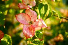 Flowering Tree. In Washington State, USA. Pink Flowers Closeup. Flowers Photo Collection stock photography