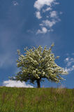 Flowering tree. The very beautiful flowering tree Stock Images