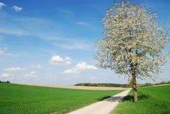Flowering tree Royalty Free Stock Photo