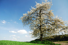 Flowering tree Stock Photography