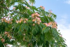 Flowering tree acacia albizia Lankaran Albizia julibrissin stock photo