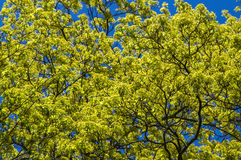 Flowering tree against a blue sky. Royalty Free Stock Photo