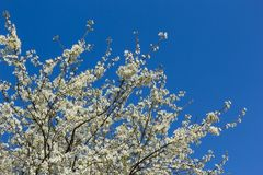 Flowering tree against a blue sky Stock Images
