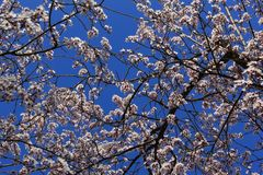 Flowering tree against a blue sky Stock Photos