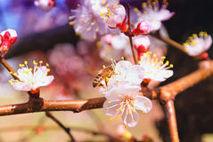 Flowering Tree Apricot and Bee Stock Images