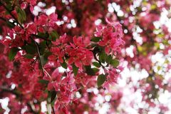 Flowering tree in April Royalty Free Stock Image