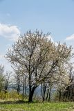 Flowering tree in April. Blue sky with few clouds and green grass royalty free stock images