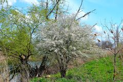 Flowering tree in April. Photo taken on: April 15 Saturday, 2017 Royalty Free Stock Images