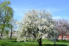 Flowering tree in April. Spring in Rostov-on-don, Russia.   Photo taken on: April 18 Friday, 2014 Royalty Free Stock Photo
