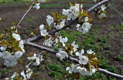 Flowering tree in April. Spring in Rostov region, Russia.   Photo taken on: April 19 Saturday, 2014 Royalty Free Stock Photos