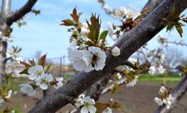Flowering tree in April. Spring in Rostov region, Russia.   Photo taken on: April 19 Saturday, 2014 Stock Images