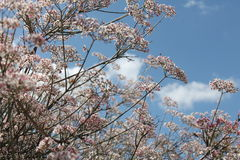 Flowering Tree. At the arboretum with blue skies and puffy white clouds in the background stock photo
