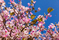 Flowering Tree Royalty Free Stock Photo