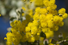 Flowering Tree. Beautiful yellow blooms on a small tree or bush Royalty Free Stock Image