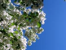 Flowering tree. The beauty of flowering trees in spring Royalty Free Stock Image