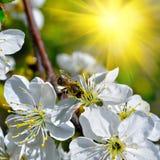 Flowering tree Stock Images