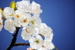 Flowering tree blossoms Stock Photo