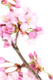 Flowering tree blossoms Royalty Free Stock Photography