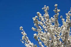 Flowering Tree with Blue Sky Royalty Free Stock Photography