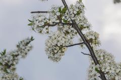 Flowering tree branch against a cloudy sky. A branch of a tree with white flowering. Lots of white flowers and yellow pollen. Blurred background of cloudy sky stock photos