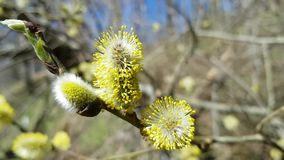 Flowering tree branch on a clear spring day. The breeze sways the wind and the yellow willow stock video footage