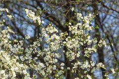 Flowering tree branch. Flowering of different trees in April or May royalty free stock photo