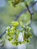 Flowering tree branch Stock Image