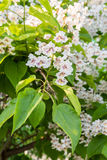 Flowering tree Catalpa bignonioides. White flowers and green leaves on blurred background.  Stock Photo
